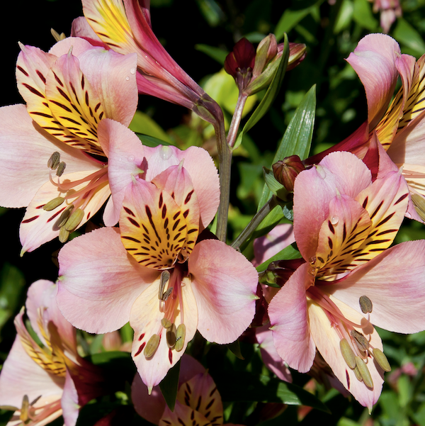 Alstromerias para crear tu propio ramo de flores