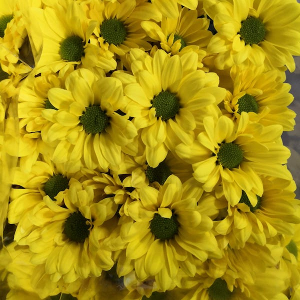 Crisantemo Margarita amarilla para crear tu propio ramo de flores