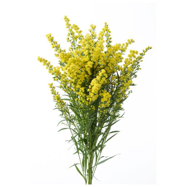 flor solidago amarilla para crear un ramo de flores de regalo