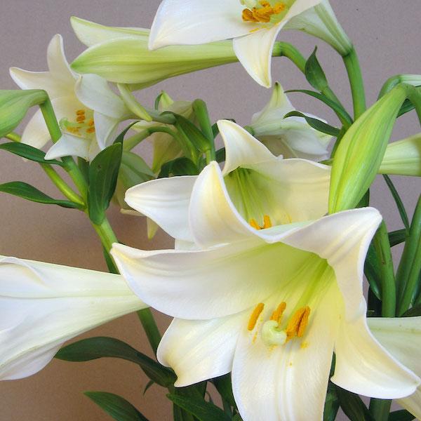 lilium blanco flor para montar un ramo por ti mismo